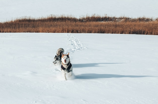 Twee rasechte husky's die in de sneeuw lopen
