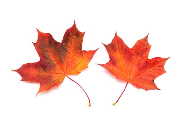 Twee rode esdoornbladeren, geïsoleerde de herfstesdoornblad