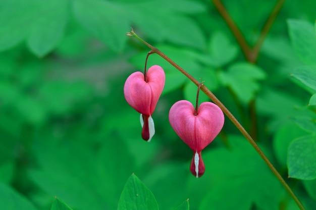 Twee rode harten, roze dicentra bloemen (bloeden hart) op groene natuurlijke pagina