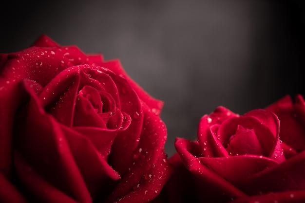 Twee rode verse rozen met druppel op bloemblaadje. paar bloem, symbool van liefde en valentijnsdag. close-up shot en donkere toon