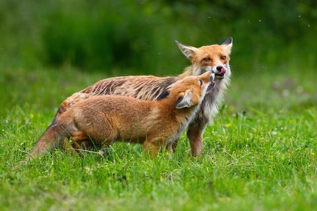 Twee rode vos aanraken met neus op weide in de zomer