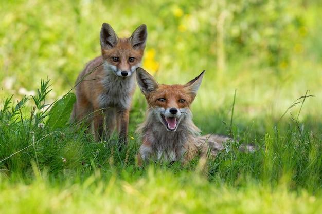 Twee rode vossen die op groene weide in de zomeraard rusten
