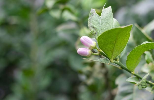 Twee roze citroenbloemen op een groeiende tak in de tuin met kopieerruimte