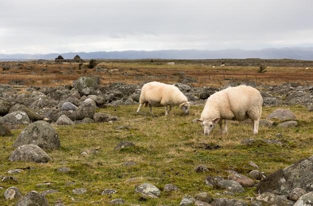 Twee schapen grazen in het vlakke, rotsachtige landschap in lista, noorwegen