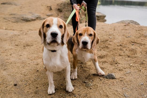 Twee schattige beagle honden met halsbanden en riemen chillen met hun eigenaar op zandstrand op herfstdag