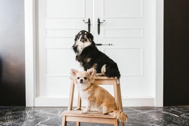 Twee schattige chihuahua-honden poseren gehoorzaam voor de camera op de achtergrond van een witte deur