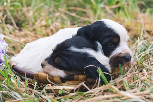 Twee schattige engelse setter-puppy's in een houten mand met grasbodem. ruimte kopiëren.