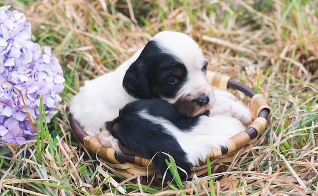 Twee schattige engelse setter-puppy's in een houten mand met grasbodem.