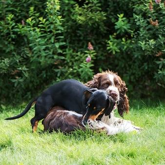 Twee schattige honden spelen ruw in gras op zomer natuur