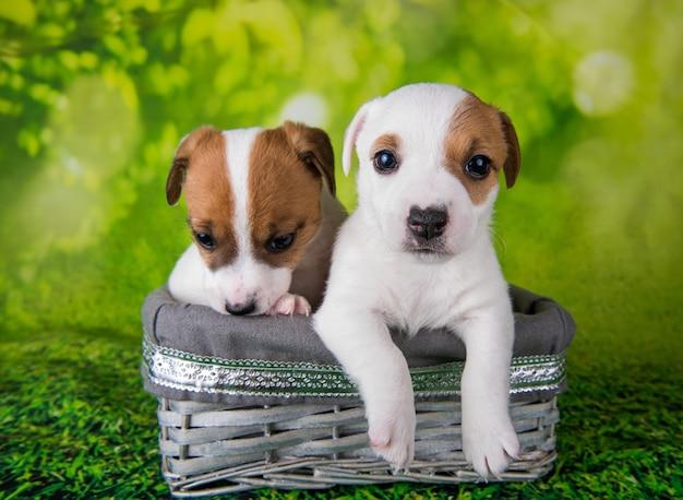Twee schattige jack russell terrier-puppy's zitten in een paasdoos