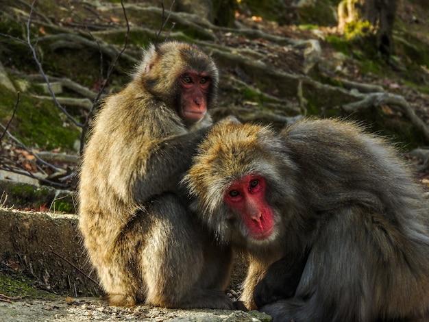Twee schattige japanse makaken apen vrienden spelen in het bos