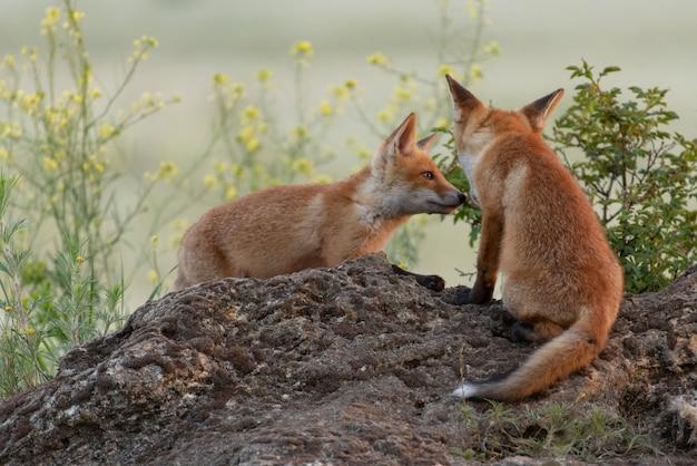 Twee schattige jonge vossen. vulpes vulpes.