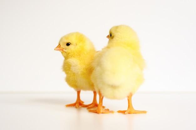 Twee schattige kleine kleine pasgeboren gele babykuikens op wit