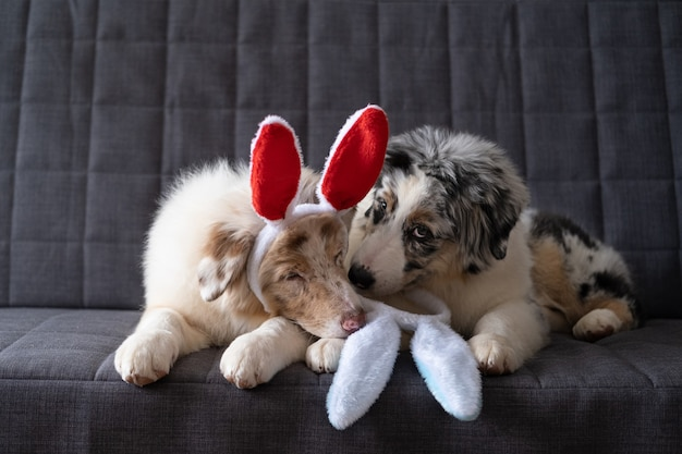 Twee schattige kleine schattige australische herder rode blauwe merle puppy hondje bunny oren dragen. pasen. liggend op grijze banklaag. beste vrienden.