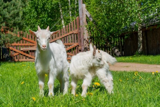 Twee schattige kleine witte geit. zomer huisdier op de boerderij.