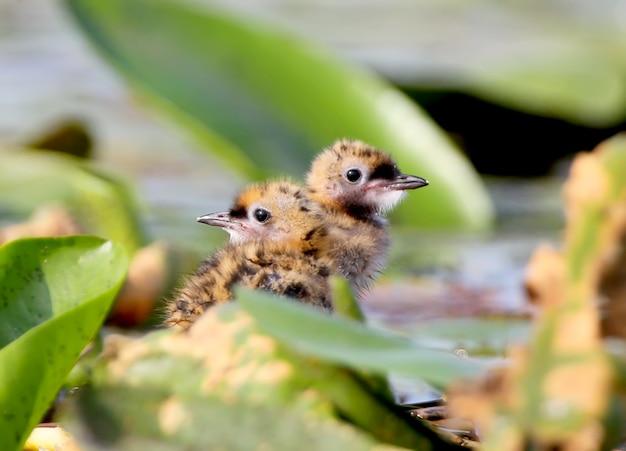 Twee schattige kuikens van een bakkebaardstern verstoppen zich in bladeren van waterplanten. close-up bekijken Premium Foto