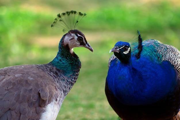 Twee schattige pauwen; man en vrouw, kijken elkaar liefdevol aan op een wazige achtergrond.