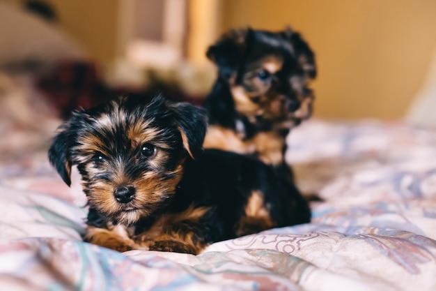 Twee schattige puppy's op het bed