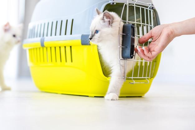 Twee schattige ragdoll-katten gesloten in huisdieren die voor transport probeerden naar buiten te gaan. rasechte pluizige gedomesticeerde katachtige dieren in een mand met metalen rooster en de hand van de eigenaar