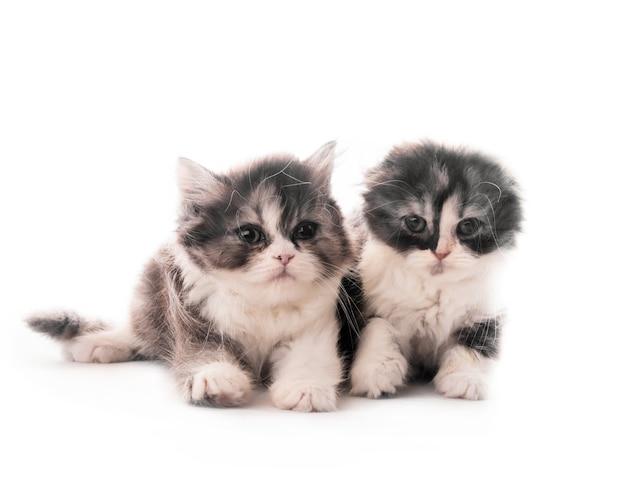 Twee schattige schotse ras kittens liggen geïsoleerd op een witte achtergrond