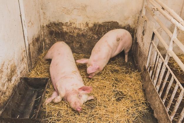 Twee schattige varkens in kooi