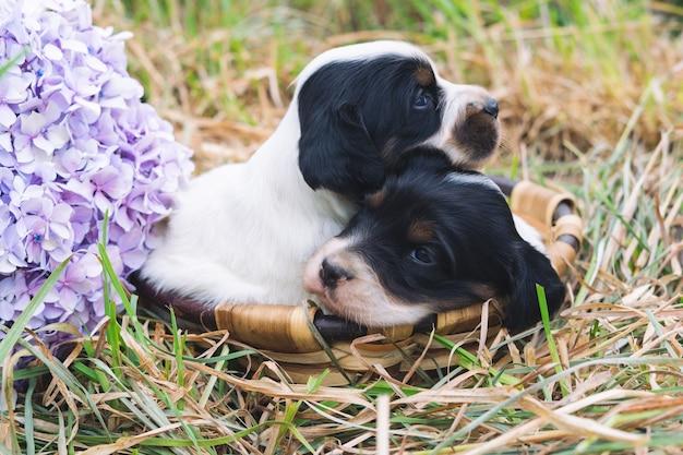 Twee schattige zwart-witte engelse setter-puppy's in een mand op gras met een bloem.