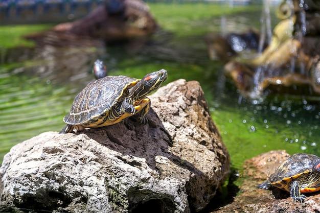 Twee schildpadden, op de rotsen, verlicht door de zon