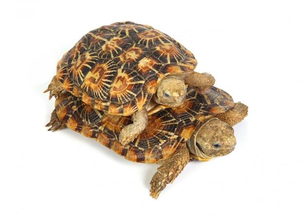 Twee schildpadden samen