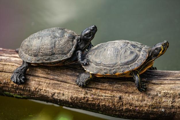 Twee schildpadden zitten boven het water op een oude boomtak