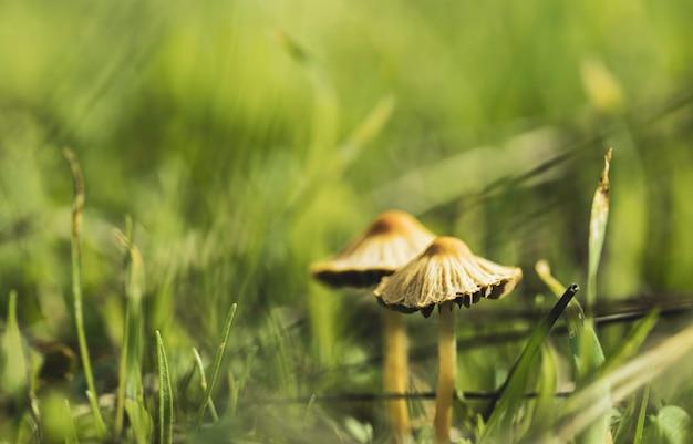 Twee schimmels uit de familie van het schimmelkoninkrijk onder het bosgras