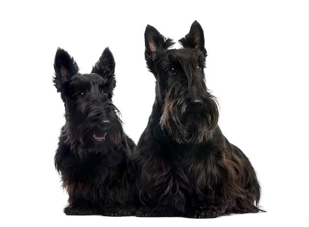 Twee schotse terriers die voor een witte muur zitten