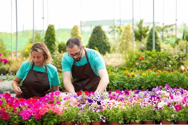 Twee serieuze professionele tuinmannen die petunia-bloemen verzorgen en buitenshuis staan