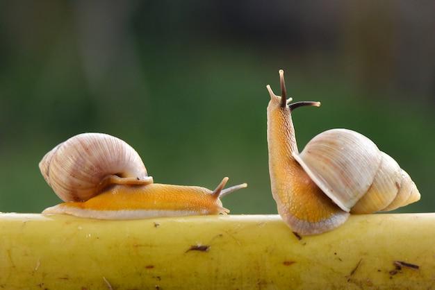 Twee slakken in actie op een tak