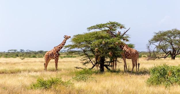 Twee somalische giraffen eten de bladeren van acaciabomen