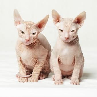 Twee sphynxkatjes die met boze uitdrukking staren