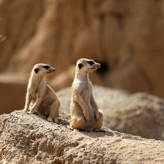 Twee suricata die zich waakzaam bevinden.
