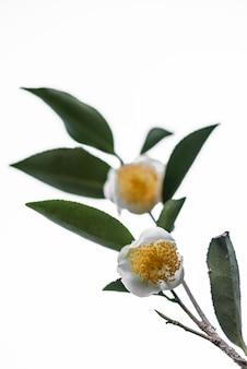 Twee theebloemen en bladeren op een witte achtergrond