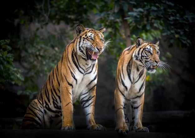 Twee tijgers ontspannen in de natuurlijke omgeving van de dierentuin.