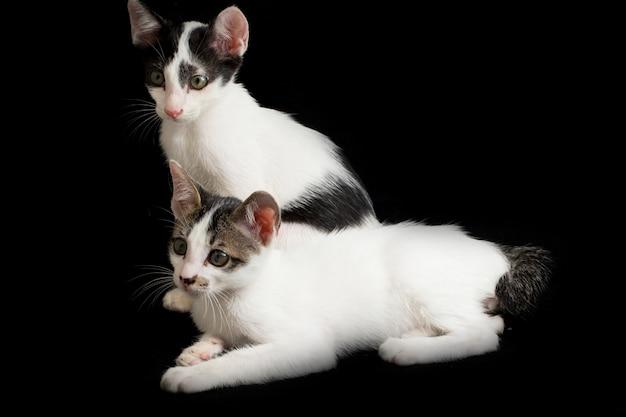 Twee tweeling binnenlandse katjeskat die op zwarte wordt geïsoleerd