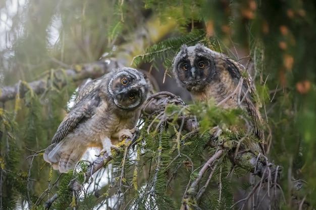 Twee uilen zittend op een tak en camera kijken