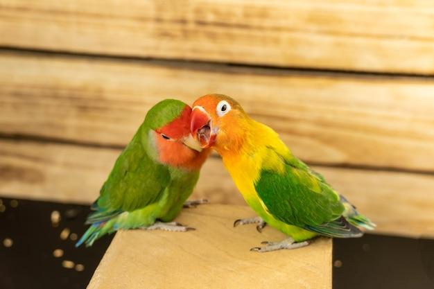 Twee veelkleurige onafscheidelijke papegaaien op een houten achtergrond. de een knaagt aan de ander.