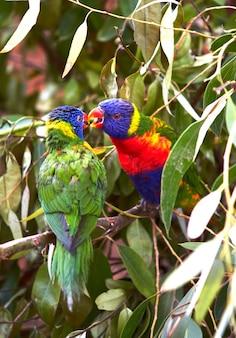 Twee veelkleurige papegaaien zitten op een tak van een groene boom en kussen