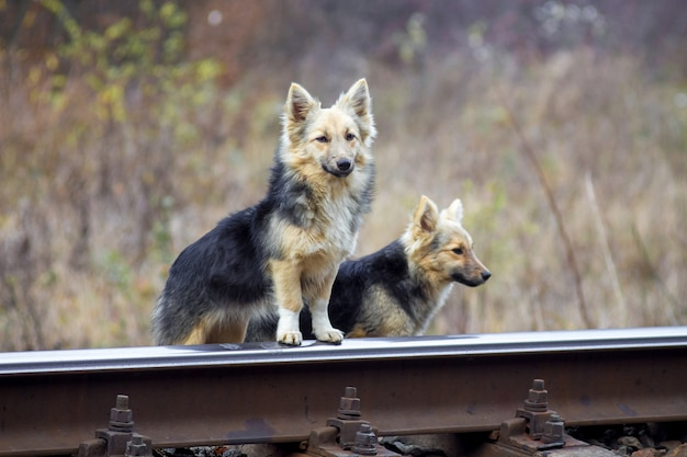 Twee verdwaalde sabaka's bij de spoorlijn