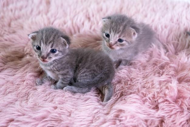 Twee verschillende britse kleine kitten zittend op een roze deken