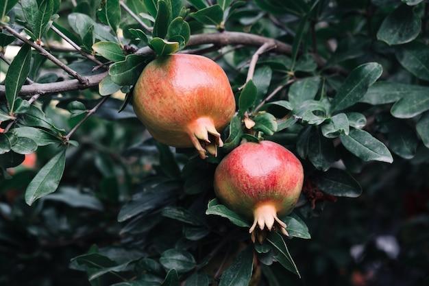 Twee verse granaatappelvruchten hangen aan een tak met lijstwerk in de tuin.