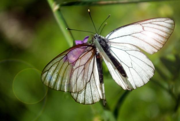 Twee vlinders op één bloem.