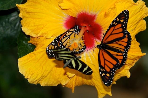 Twee vlinders op een gele bloem