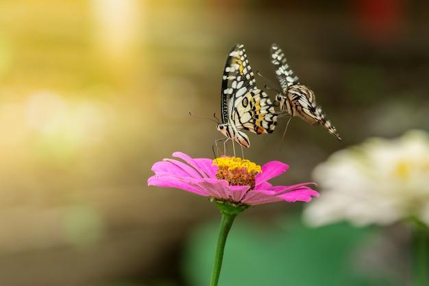 Twee vlinders vliegen op zoek naar nectar van roze zinnia-bloemen, lime butterfly,