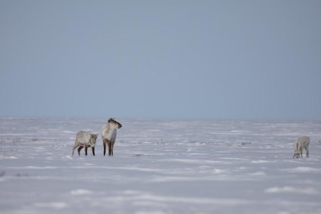 Twee volwassen en een jonge onvruchtbare kariboes gevonden in de late lentesneeuw