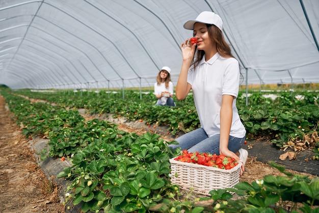 Twee vrouwtjes oogsten aardbeien